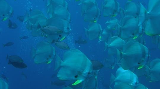 ツバメウオの大群。タオ島のSail Rockには大量の魚が