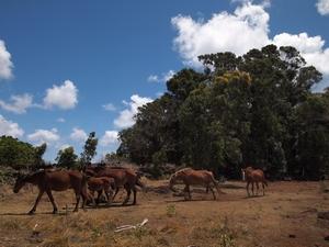 イースター島の北の方は馬が必要