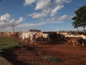 おじいちゃんの牛。毎年1頭は食べられる運命らしい