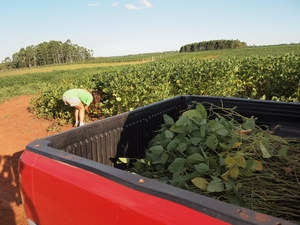 マリオさんの畑から大豆を盗む