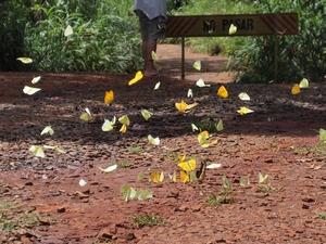 イグアスの滝周辺に生息するたくさんの蝶