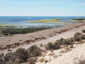 バルデス半島のゾウアザラシ