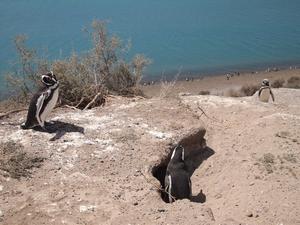 バルデス半島のペンギン