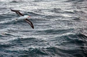 ドレーク海峡での南極上陸クルーズ船の中で暇つぶし。買ったばかりのNikon D5000の練習相手になってくれるかもめの一種