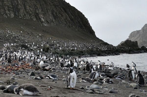 南極上陸クルーズ上陸1本目はアイチョー島。とにかくペンギンの数がすごい