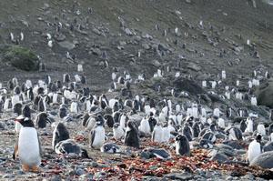 ペンギンに埋め尽くされたアイチョー島。足の踏み場も無い。