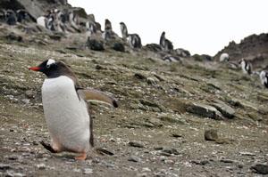 ペタペタと歩く南極のペンギンの姿はたまらない