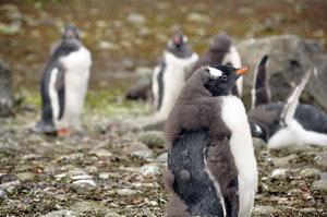 南極のアイチョー島で見れる羽毛が抜け始めた子供のペンギン