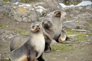 南極のアイチョー島ではオットセイもごろごろ