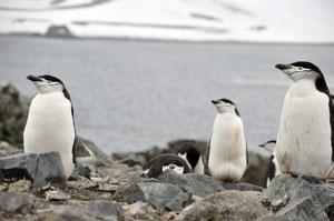 南極のHalf Moon Islandに生息する変な顔のヒゲペンギン