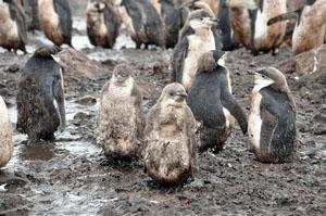 泥だらけのヒゲペンギンの子供