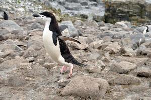 ヒゲペンギンにとっては小さな石も大きな障害。ぴょんぴょん飛び越えて移動する
