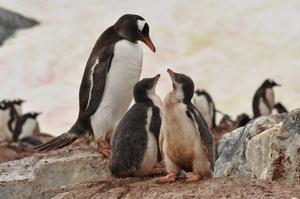 南極半島近くの島Cuverville Islandにはまだ小さなひなが多い。