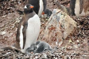 南極半島近くの島Cuverville Islandで巣をつくり雛を育てるジェンツーペンギン