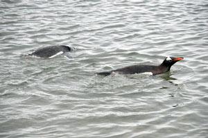 南極の海を泳ぐペンギン。Neko Harborのビーチにて