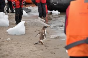 南極のNeko Harborのビーチでは人間もペンギンも同じポイントから海へエントリー