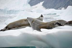 南極のNeko Harbor近くの流氷に寝そべるアザラシ