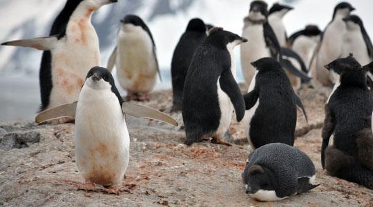 南極のYalour Islandで見かけたアデリーペンギンの群れ
