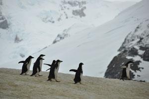 南極のYalour Islandを走り回るアデリーペンギン