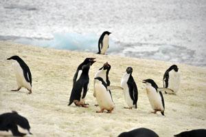 南極のピーターマン島でアデリーペンギンが大合唱