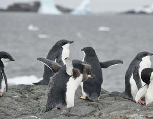 大人になりかけの南極のYalour Islandのアデリーペンギン
