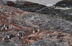 南極のYalour Islandには肉食の鳥も多く飛んでいる