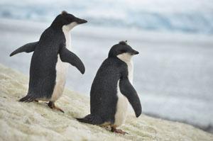 いつまでも見飽きない南極のYalour Islandのアデリーペンギン