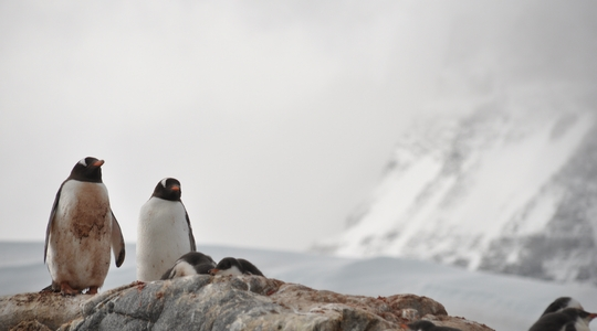 イギリス南極元基地のあるポート・ロックロイ近くの島のジェンツーペンギン