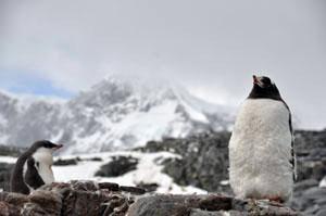 南極のJougla Pointにいたジェンツーペンギンの親子