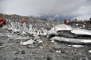 南極のJougla Pointに散らばっていたクジラの骨
