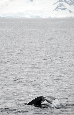 南極クルーズでダイナミックなクジラの息継ぎを間近で体感する