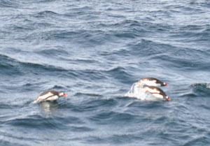 陸上とは全く別物のすばやい動きをする海のペンギンを南極クルーズで見る
