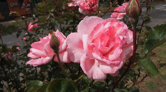 オソルノの町中に咲くきれいなバラ